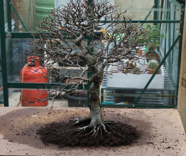 bonsai repotting